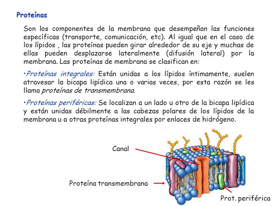 Son los componentes de la membrana que desempeñan las funciones específicas (transporte, comunicación, etc). Al igual que en el caso de los lípidos, l