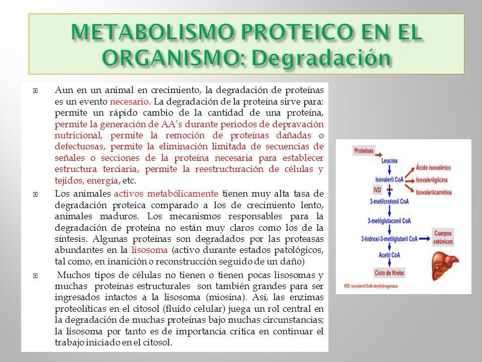 Aun en un animal en crecimiento, la degradación de proteínas es un evento necesario. La degradación de la proteína sirve para: permite un rápido cambi