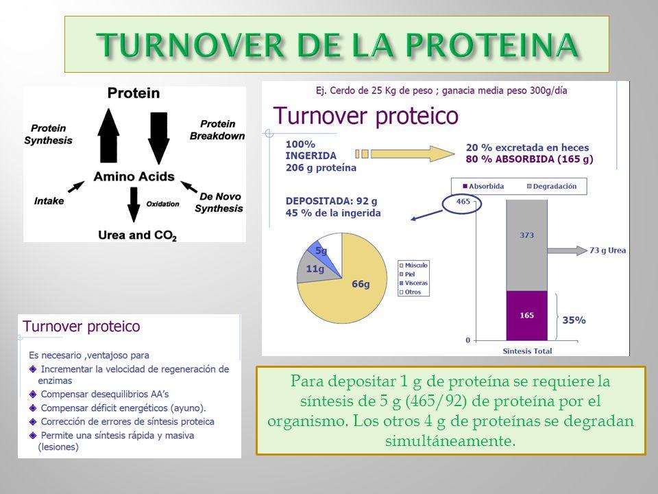 Para depositar 1 g de proteína se requiere la síntesis de 5 g (465/92) de proteína por el organismo. Los otros 4 g de proteínas se degradan simultánea