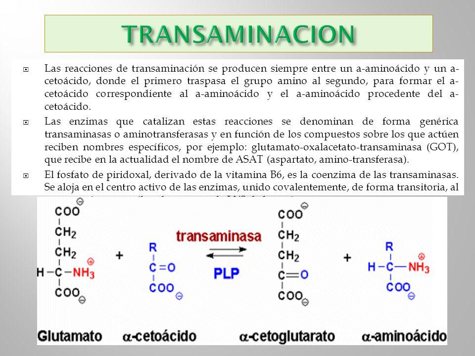 Las reacciones de transaminación se producen siempre entre un a-aminoácido y un a- cetoácido, donde el primero traspasa el grupo amino al segundo, par