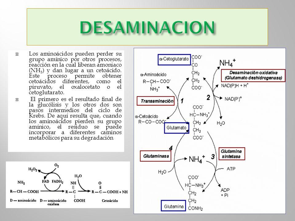 Los aminoácidos pueden perder su grupo amínico por otros procesos, reacción en la cual liberan amoniaco (NH 3 ) y dan lugar a un cetoácido. Este proce