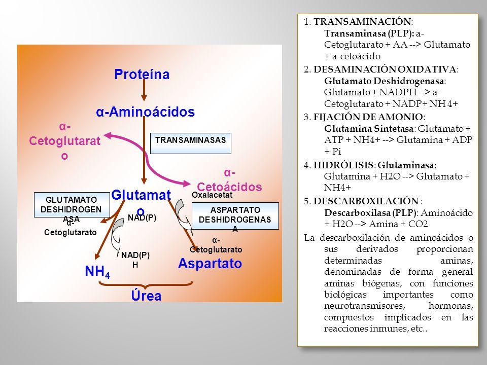 Proteína α-Aminoácidos α- Cetoácidos α- Cetoglutarat o Glutamat o NH 4 Aspartato Úrea Oxalacetat o α- Cetoglutarato NAD(P) NAD(P) H α- Cetoglutarato T