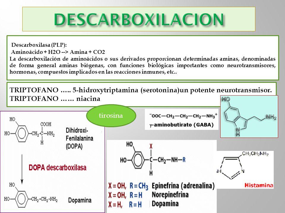 Descarboxilasa (PLP): Aminoácido + H2O --> Amina + CO2 La descarboxilación de aminoácidos o sus derivados proporcionan determinadas aminas, denominada