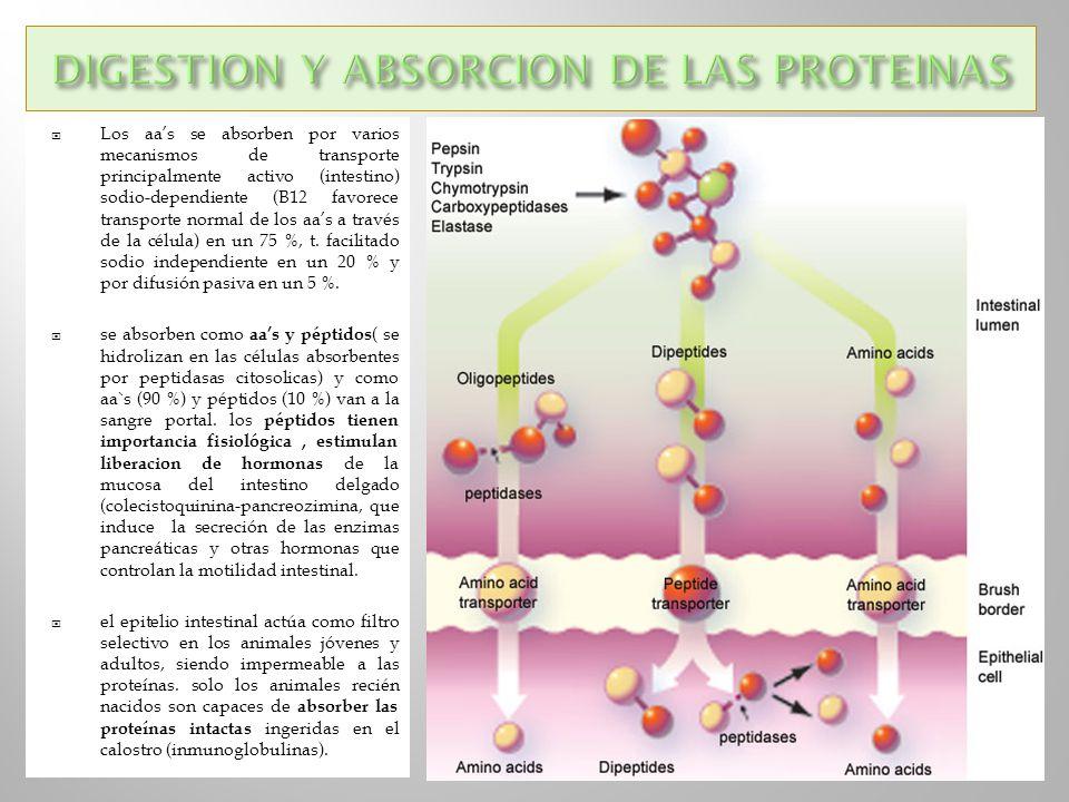 Los aas se absorben por varios mecanismos de transporte principalmente activo (intestino) sodio-dependiente (B12 favorece transporte normal de los aas