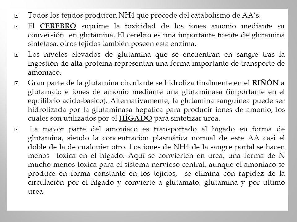 Todos los tejidos producen NH4 que procede del catabolismo de AAs. El CEREBRO suprime la toxicidad de los iones amonio mediante su conversión en gluta