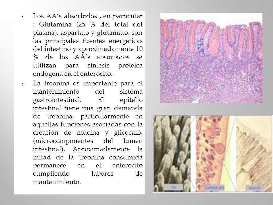 Los AAs absorbidos, en particular : Glutamina (25 % del total del plasma), aspartato y glutamato, son las principales fuentes energéticas del intestin