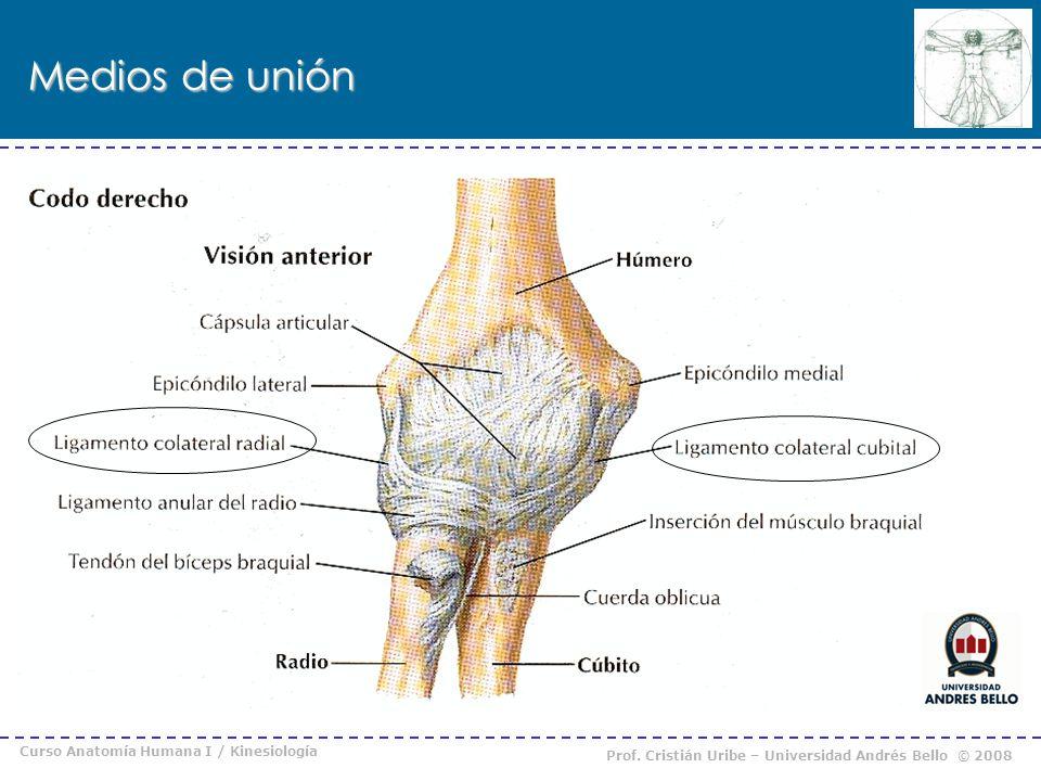 Curso Anatomía Humana I / Kinesiología Prof. Cristián Uribe – Universidad Andrés Bello © 2008 Medios de unión