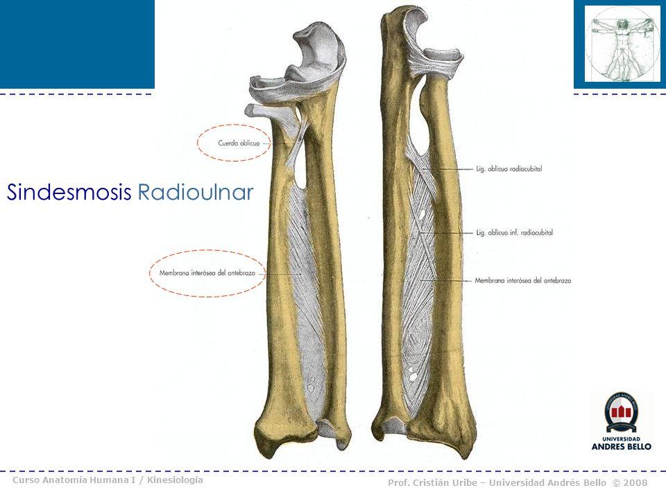Curso Anatomía Humana I / Kinesiología Prof. Cristián Uribe – Universidad Andrés Bello © 2008 Sindesmosis Radioulnar