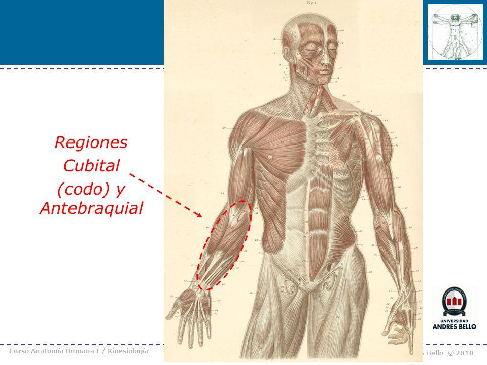 Curso Anatomía Humana I / Kinesiología Prof. Cristián Uribe – Universidad Andrés Bello © 2010 Regiones Cubital (codo) y Antebraquial