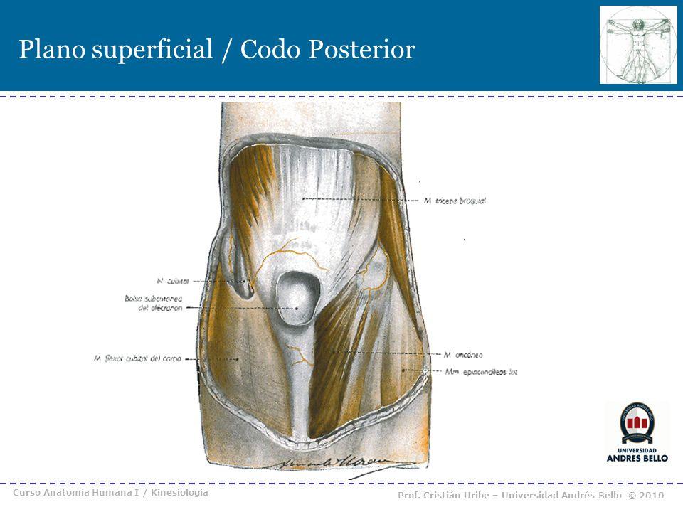 Plano superficial / Codo Posterior Curso Anatomía Humana I / Kinesiología Prof. Cristián Uribe – Universidad Andrés Bello © 2010
