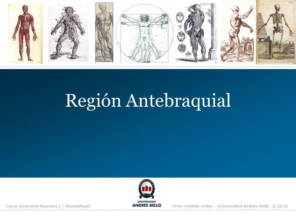 Región Antebraquial Curso Anatomía Humana I / KinesiologíaProf. Cristián Uribe – Universidad Andrés Bello © 2010
