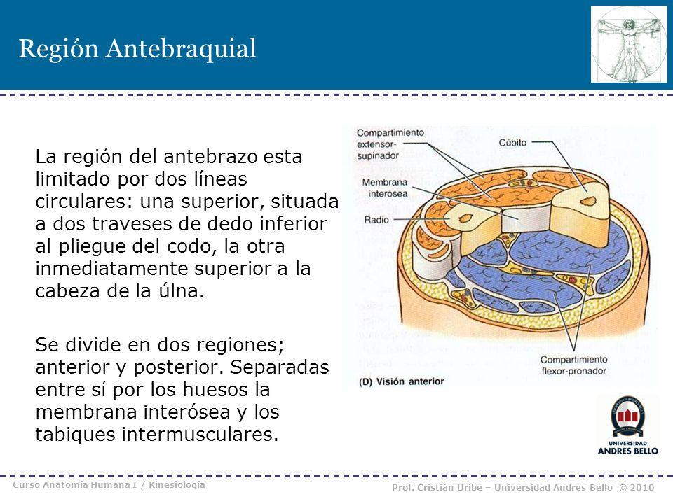Región Antebraquial La región del antebrazo esta limitado por dos líneas circulares: una superior, situada a dos traveses de dedo inferior al pliegue
