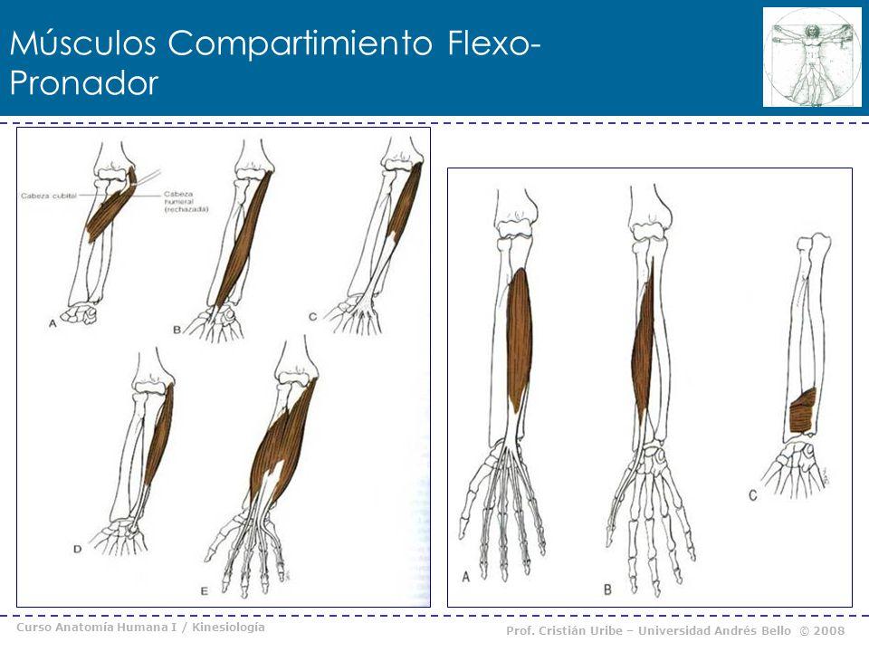 Curso Anatomía Humana I / Kinesiología Prof. Cristián Uribe – Universidad Andrés Bello © 2008 Músculos Compartimiento Flexo- Pronador