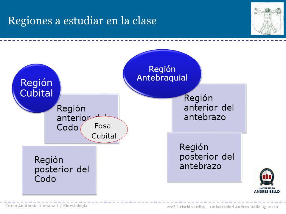 Regiones a estudiar en la clase Curso Anatomía Humana I / Kinesiología Prof. Cristián Uribe – Universidad Andrés Bello © 2010 Fosa Cubital