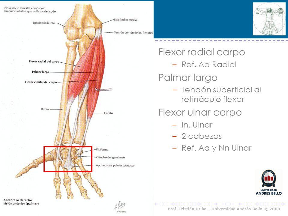 Curso Anatomía Humana I / Kinesiología Prof. Cristián Uribe – Universidad Andrés Bello © 2008 Flexor radial carpo –Ref. Aa Radial Palmar largo –Tendón