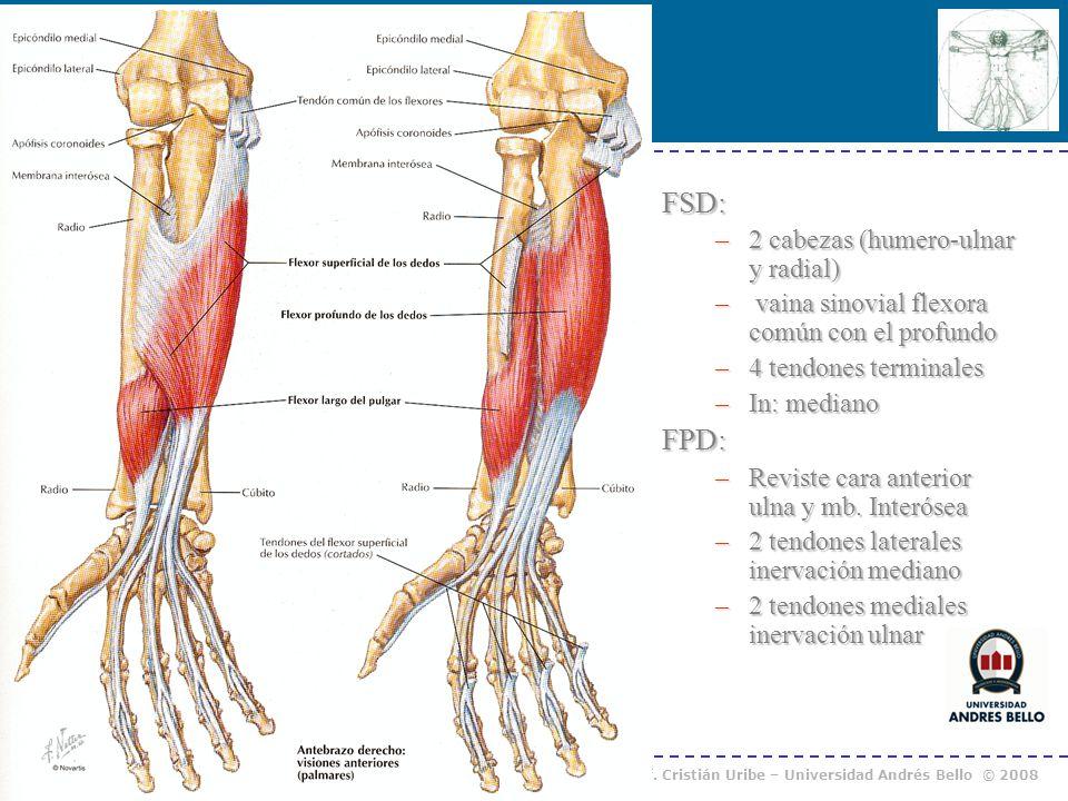 Curso Anatomía Humana I / Kinesiología Prof. Cristián Uribe – Universidad Andrés Bello © 2008 FSD: –2 cabezas (humero-ulnar y radial) – vaina sinovial