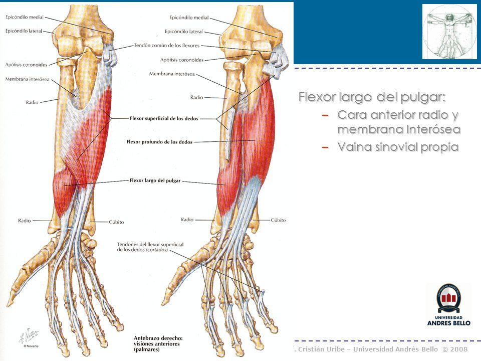 Curso Anatomía Humana I / Kinesiología Prof. Cristián Uribe – Universidad Andrés Bello © 2008 Flexor largo del pulgar: –Cara anterior radio y membrana