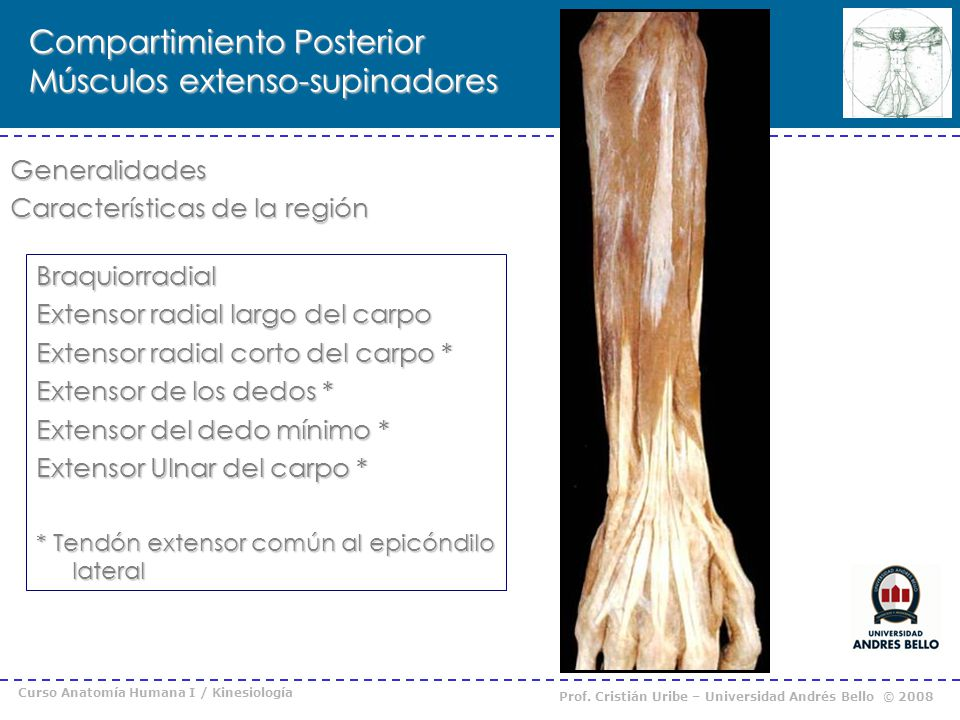 Curso Anatomía Humana I / Kinesiología Prof. Cristián Uribe – Universidad Andrés Bello © 2008 Compartimiento Posterior Músculos extenso-supinadores Ge