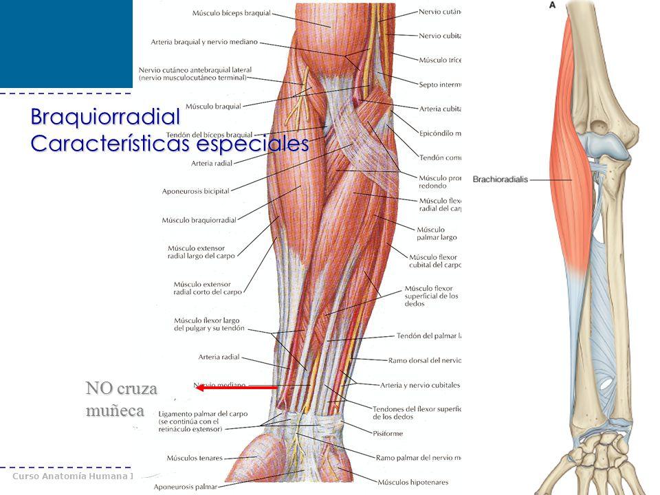 Curso Anatomía Humana I / Kinesiología Prof. Cristián Uribe – Universidad Andrés Bello © 2008 NO cruza muñeca Braquiorradial Características especiale