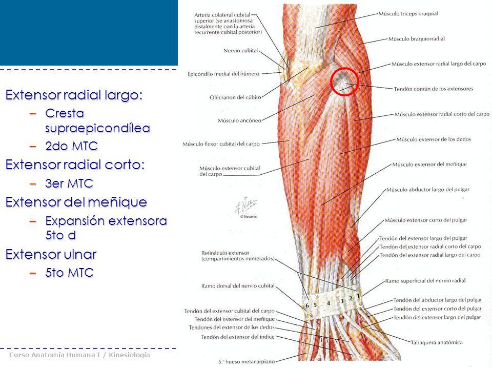 Curso Anatomía Humana I / Kinesiología Prof. Cristián Uribe – Universidad Andrés Bello © 2008 Extensor radial largo: –Cresta supraepicondílea –2do MTC