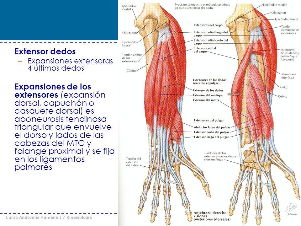 Curso Anatomía Humana I / Kinesiología Prof. Cristián Uribe – Universidad Andrés Bello © 2008 Extensor dedos –Expansiones extensoras 4 últimos dedos E