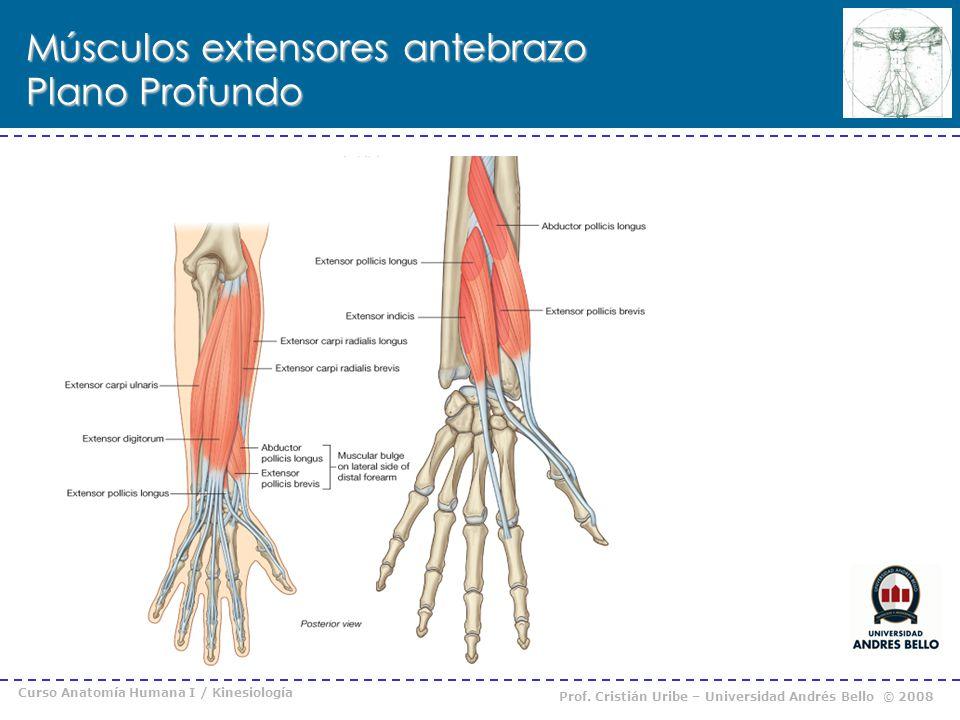 Curso Anatomía Humana I / Kinesiología Prof. Cristián Uribe – Universidad Andrés Bello © 2008 Músculos extensores antebrazo Plano Profundo Supinador S