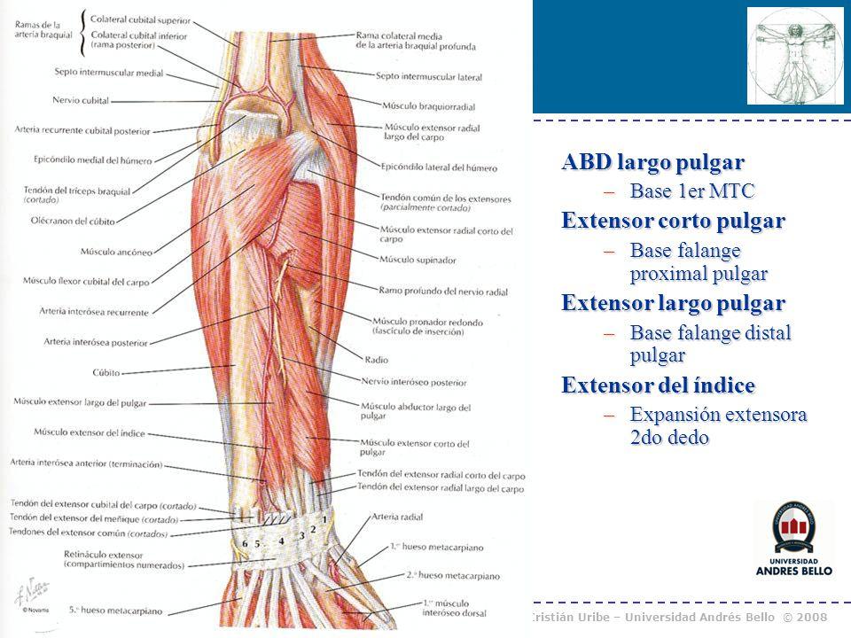 Curso Anatomía Humana I / Kinesiología Prof. Cristián Uribe – Universidad Andrés Bello © 2008 ABD largo pulgar –Base 1er MTC Extensor corto pulgar –Ba