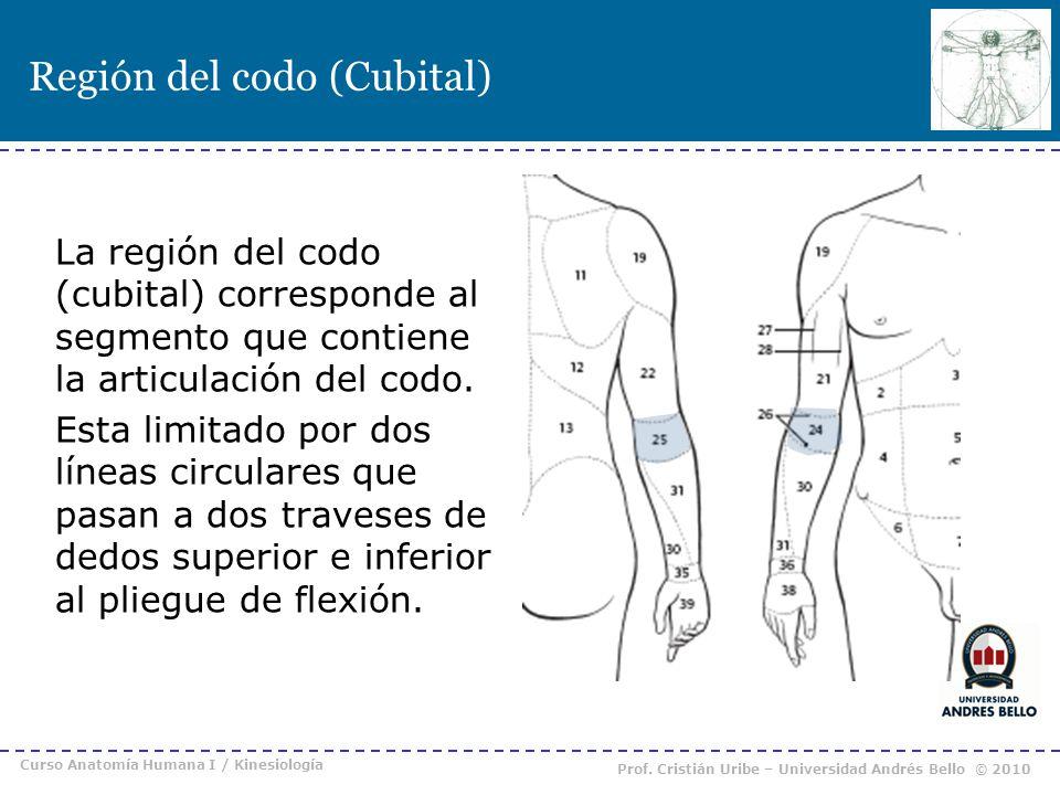 Región del codo (Cubital) La región del codo (cubital) corresponde al segmento que contiene la articulación del codo. Esta limitado por dos líneas cir