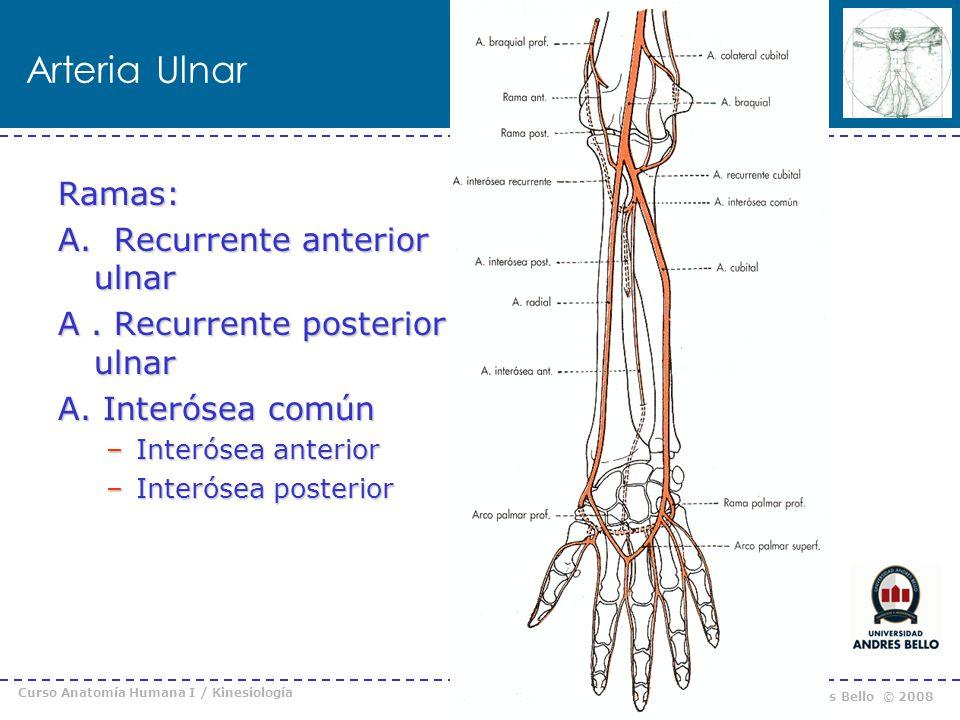 Curso Anatomía Humana I / Kinesiología Prof. Cristián Uribe – Universidad Andrés Bello © 2008 Arteria Ulnar Ramas: A. Recurrente anterior ulnar A. Rec