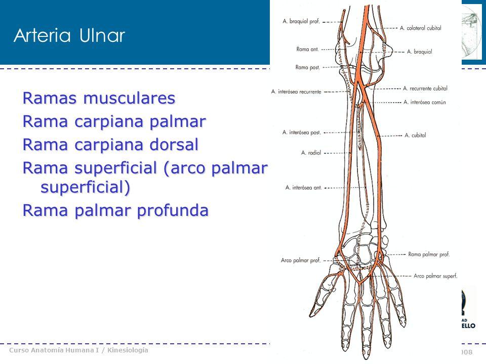 Curso Anatomía Humana I / Kinesiología Prof. Cristián Uribe – Universidad Andrés Bello © 2008 Arteria Ulnar Ramas musculares Rama carpiana palmar Rama