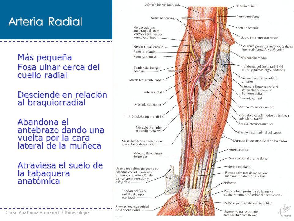 Curso Anatomía Humana I / Kinesiología Prof. Cristián Uribe – Universidad Andrés Bello © 2008 Arteria Radial Más pequeña Fosa ulnar cerca del cuello r