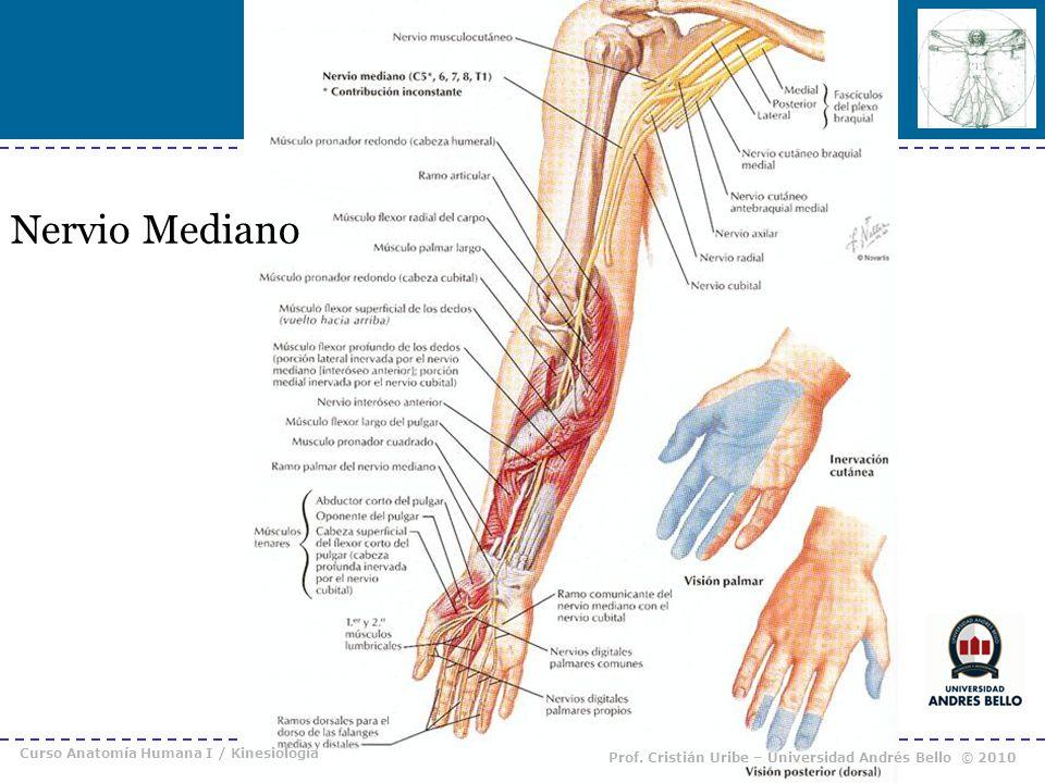 Nervio Mediano Curso Anatomía Humana I / Kinesiología Prof. Cristián Uribe – Universidad Andrés Bello © 2010