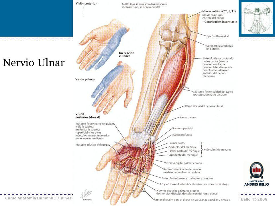 Curso Anatomía Humana I / Kinesiología Prof. Cristián Uribe – Universidad Andrés Bello © 2008 Nervio Ulnar