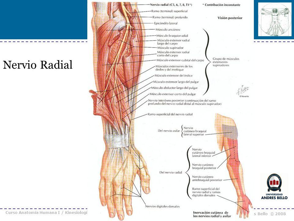 Curso Anatomía Humana I / Kinesiología Prof. Cristián Uribe – Universidad Andrés Bello © 2008 Nervio Radial