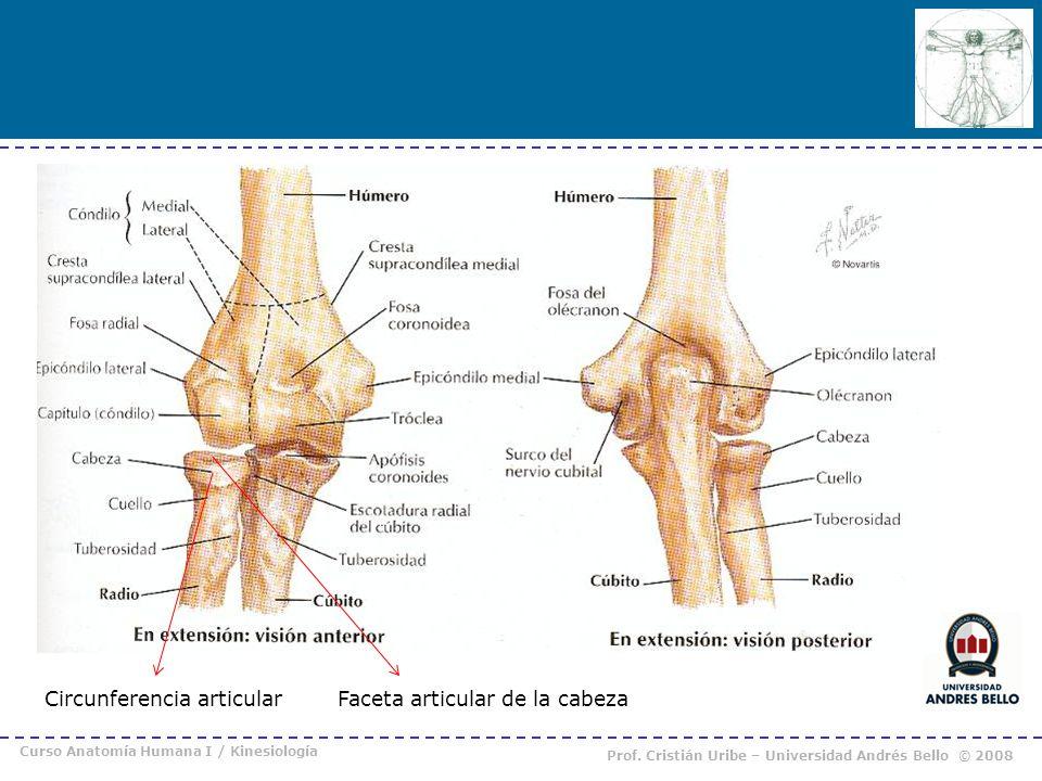 Curso Anatomía Humana I / Kinesiología Prof. Cristián Uribe – Universidad Andrés Bello © 2008 Circunferencia articularFaceta articular de la cabeza