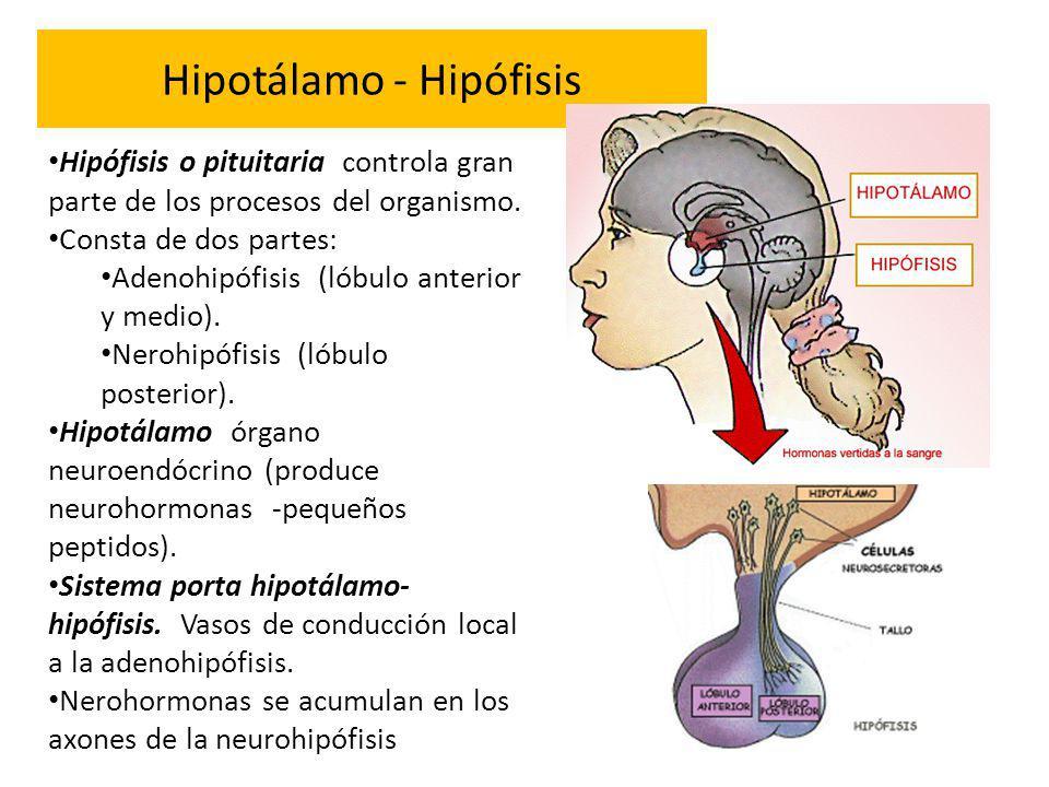Hipotálamo - Hipófisis Hipófisis o pituitaria controla gran parte de los procesos del organismo. Consta de dos partes: Adenohipófisis (lóbulo anterior