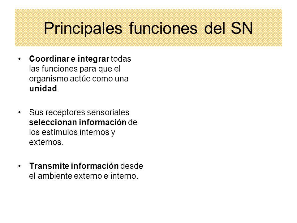 Principales funciones del SN Coordinar e integrar todas las funciones para que el organismo actúe como una unidad. Sus receptores sensoriales seleccio