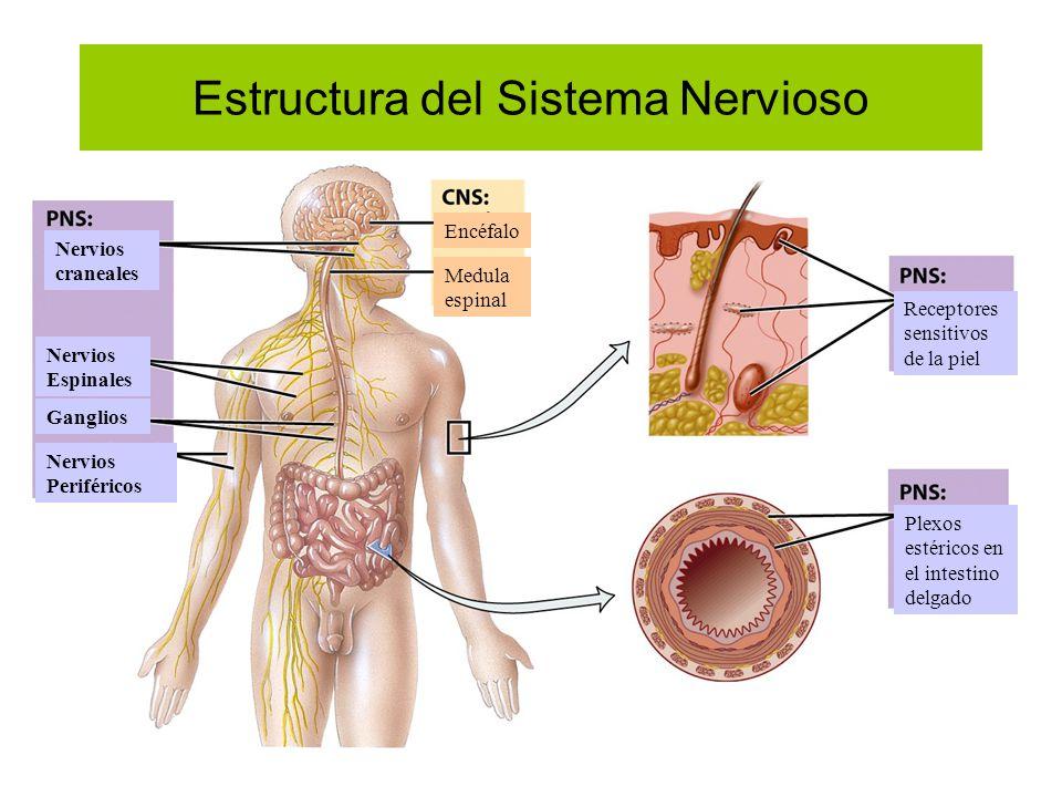 Estructura del Sistema Nervioso Nervios craneales Nervios Espinales Ganglios Nervios Periféricos Encéfalo Medula espinal Receptores sensitivos de la p