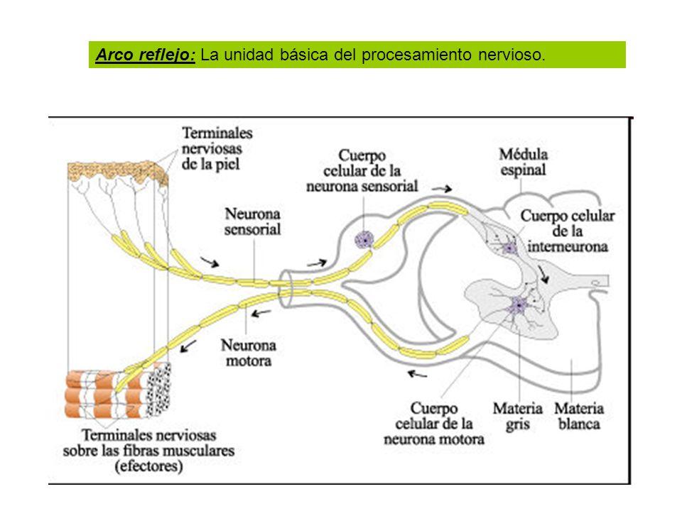 Arco reflejo: La unidad básica del procesamiento nervioso.