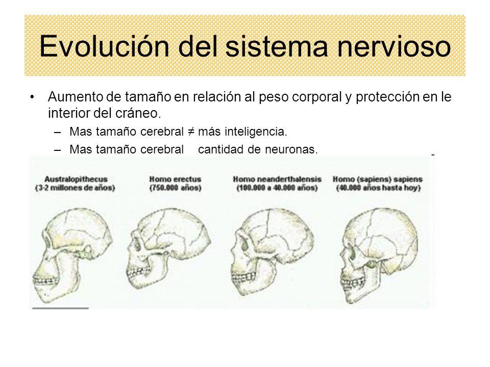 Evolución del sistema nervioso Aumento de tamaño en relación al peso corporal y protección en le interior del cráneo. –Mas tamaño cerebral más intelig