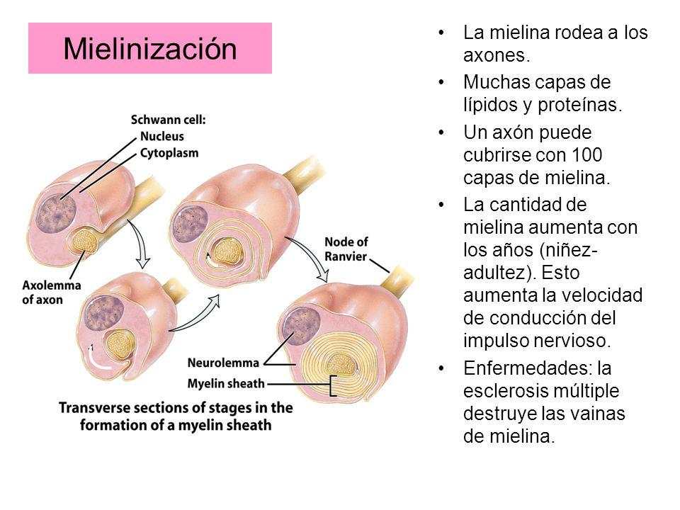 Mielinización La mielina rodea a los axones. Muchas capas de lípidos y proteínas. Un axón puede cubrirse con 100 capas de mielina. La cantidad de miel