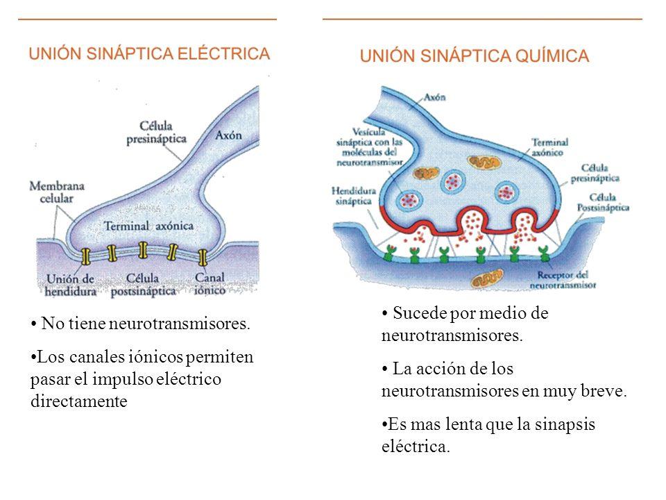 No tiene neurotransmisores. Los canales iónicos permiten pasar el impulso eléctrico directamente Sucede por medio de neurotransmisores. La acción de l