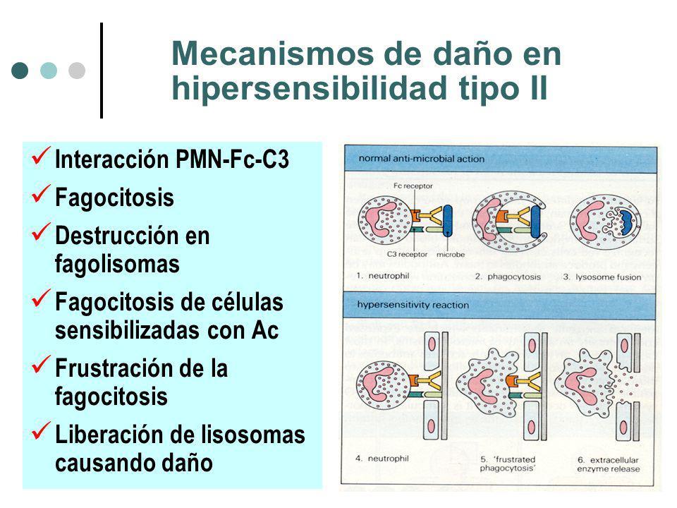 Mecanismos de daño en hipersensibilidad tipo II Interacción PMN-Fc-C3 Fagocitosis Destrucción en fagolisomas Fagocitosis de células sensibilizadas con Ac Frustración de la fagocitosis Liberación de lisosomas causando daño