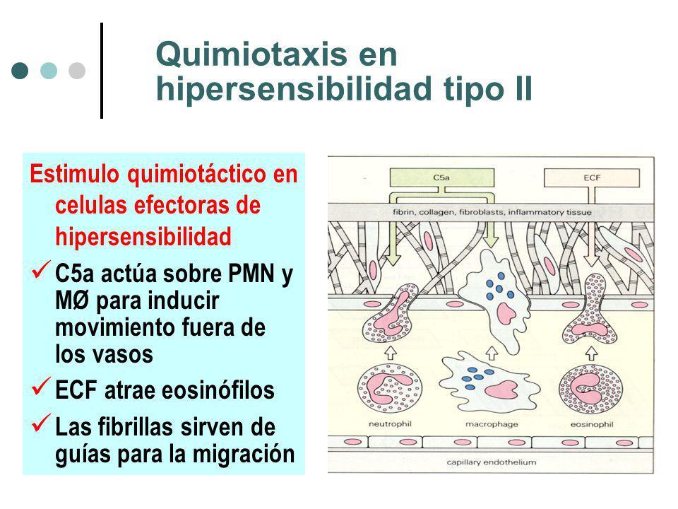 Quimiotaxis en hipersensibilidad tipo II Estimulo quimiotáctico en celulas efectoras de hipersensibilidad C5a actúa sobre PMN y MØ para inducir movimiento fuera de los vasos ECF atrae eosinófilos Las fibrillas sirven de guías para la migración