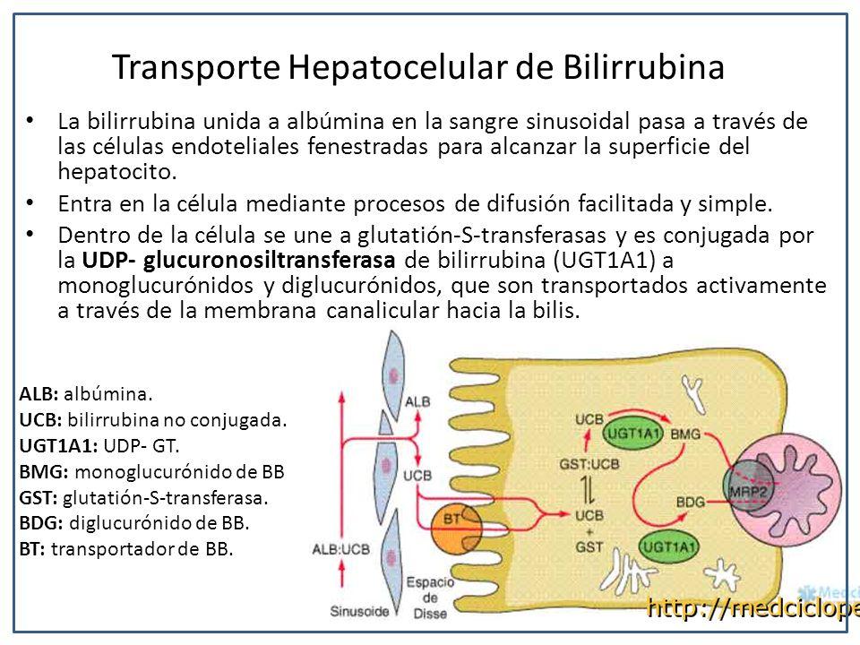 Transporte Hepatocelular de Bilirrubina La bilirrubina unida a albúmina en la sangre sinusoidal pasa a través de las células endoteliales fenestradas