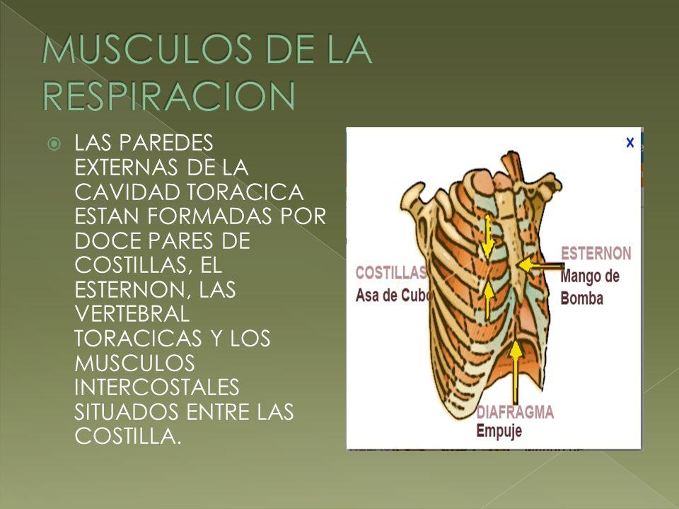LAS PAREDES EXTERNAS DE LA CAVIDAD TORACICA ESTAN FORMADAS POR DOCE PARES DE COSTILLAS, EL ESTERNON, LAS VERTEBRAL TORACICAS Y LOS MUSCULOS INTERCOSTA
