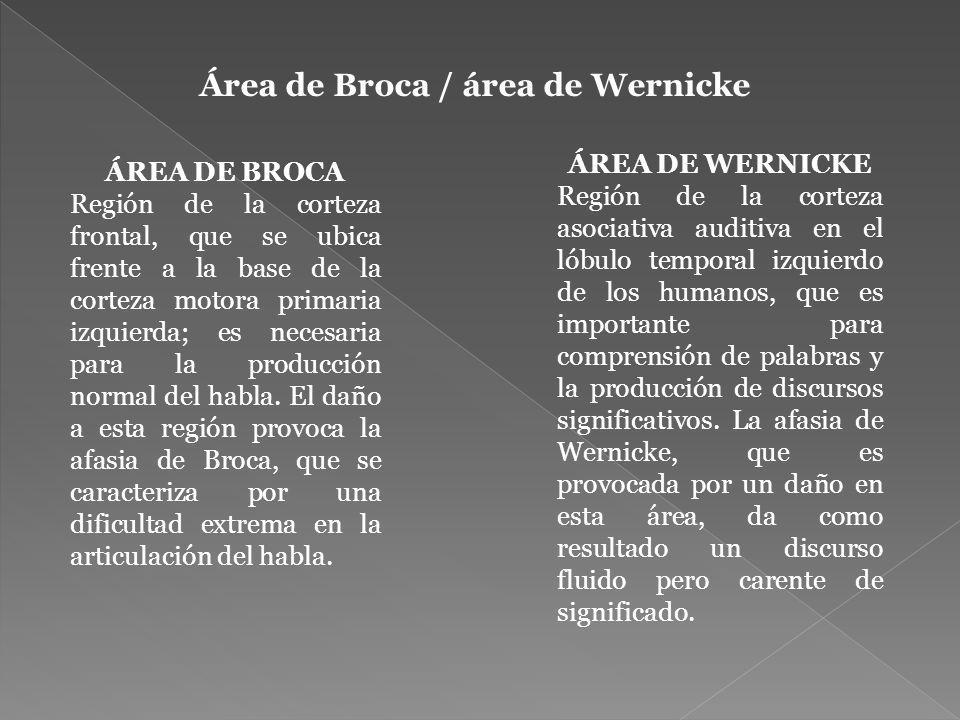 Área de Broca / área de Wernicke ÁREA DE WERNICKE Región de la corteza asociativa auditiva en el lóbulo temporal izquierdo de los humanos, que es importante para comprensión de palabras y la producción de discursos significativos.