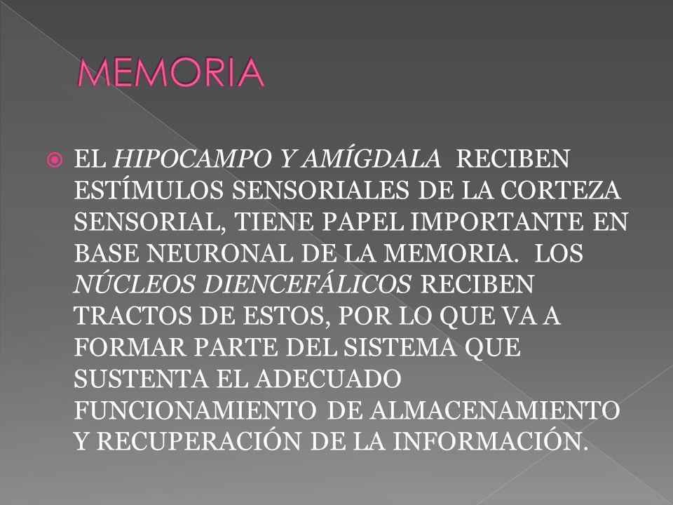 EL HIPOCAMPO Y AMÍGDALA RECIBEN ESTÍMULOS SENSORIALES DE LA CORTEZA SENSORIAL, TIENE PAPEL IMPORTANTE EN BASE NEURONAL DE LA MEMORIA. LOS NÚCLEOS DIEN