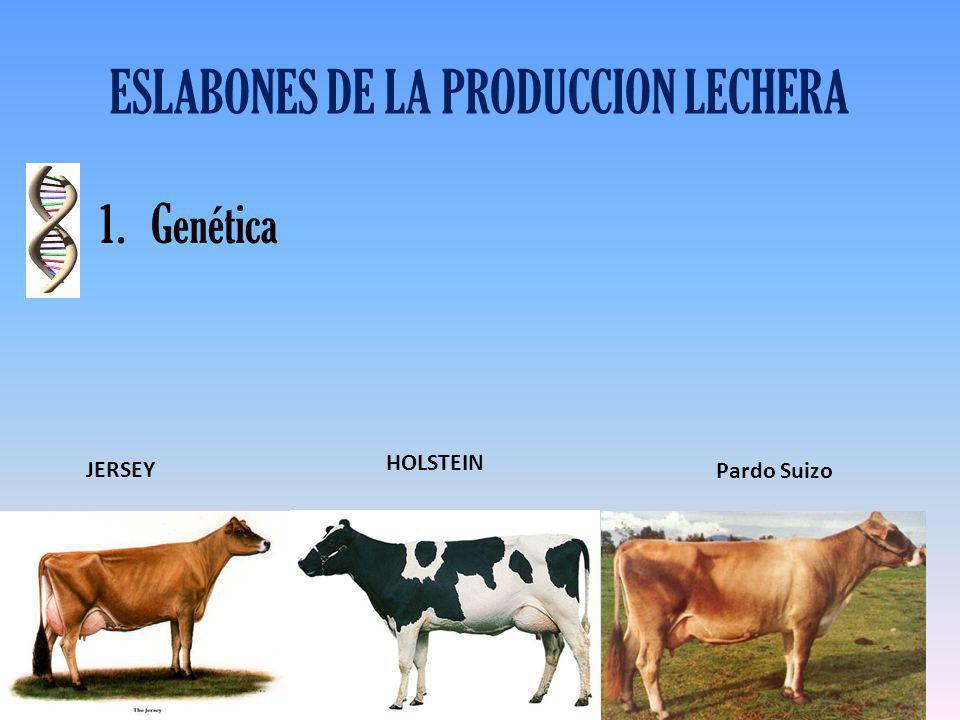 ESLABONES DE LA PRODUCCION LECHERA 1.Genética JERSEY HOLSTEIN Pardo Suizo