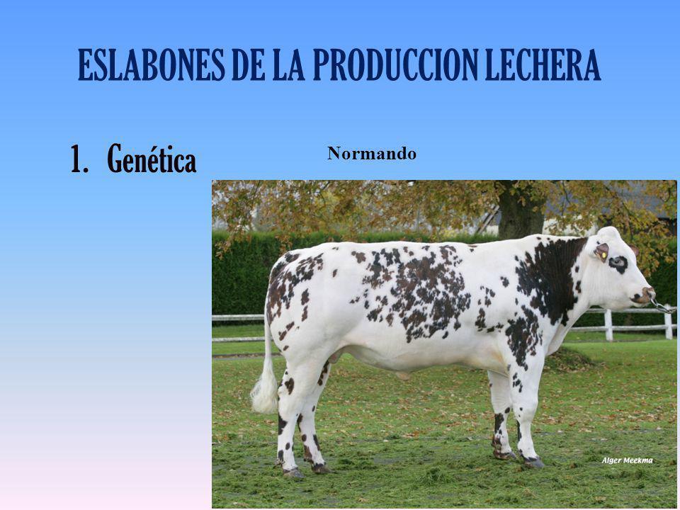 ESLABONES DE LA PRODUCCION LECHERA 1.Genética Normando